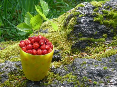 jagode na stenju